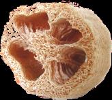 Ponge végétale luffa aegyptiaca