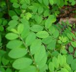 Quinine indienne phyllanthus amarus