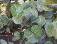 Raisinier coccoloba uvifera