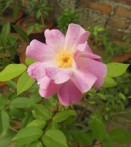 Rose musquée rosa rubiginosa