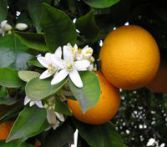 Orange douce citrus sinensis