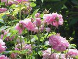 Rose de Damas rosa damascena