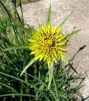 Salsifis des près Tragopogon pratensis