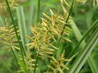 Souchet Cyperus esculentus