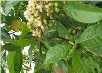 Vernonia vernonia amygdalina