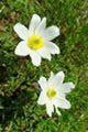 Anémone d'Aurtriche Anemone scherfelii