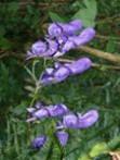 Aconit panaché Aconitum variegatum