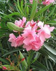 Laurier rose Nerium oleander