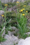 Séneçon doronic Senecio doronicum