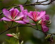 Arbre orchidée Bauhinia variegata