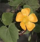 Mauve indienne Abutilon indicum