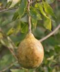 Bael Aegle marmelos