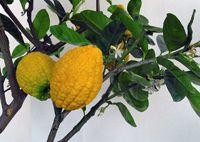 Bara nimbu citrus médica