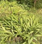 Cardamone noire Amomum subulatum