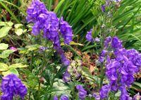 Prativisha Aconitum bisma