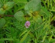 Punarnava Boerhaavia diffusa