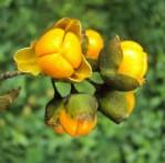 Celastrus Celastrus paniculatus