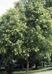 Arbre à savon Sapindus mukorossi