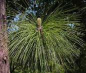 Sarala Pinus roxburghii