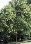 Arishta Sapindus trifoliatus