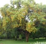 Bijaka Pterocarpus marsupium