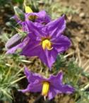 Kantakari Solanum xanthocarpum