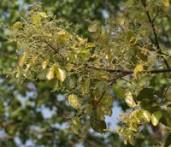 Sal Shorea robusta