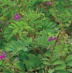 Indigo-rouge Tephrosia Purpurea