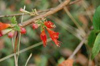 Woodfordia Woodfordia fruticosa