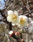 abricotier du Japon Prunus mume