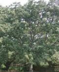 Amandier indien Terminalia bellirica