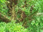 Févier de chine Gledatsia sinensis