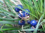 Mai men dong Ophiopogon japonicus