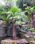 Palmier de Chine trachycarpus fortunei