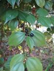 Wu Yao lindera Strychnifolia