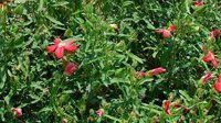Ambrette hibiscus abelmoschus