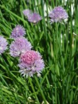 Ciboulette Allium schoenoprasum