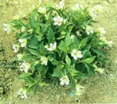 Tai shen zi pseudostellaria heterophylla