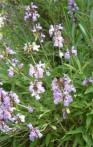 Sauge d'espagne Salvia lavandulifolia